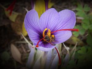 Abeille Fleur de Safran